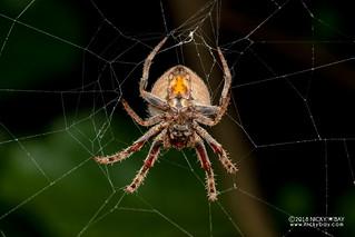 Orb weaver spider (Neoscona triangula) - DSC_3004