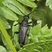 Large Black Longhorn Beetle - Stictoleptura scutellata