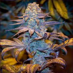 purple-kush1