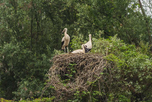 CICOGNE NEL NIDO    ----    STORKS IN THE NEST