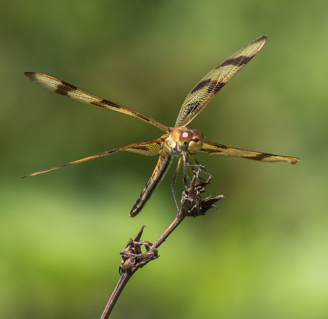 Very attractive dragonfly!