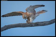 Nankeen Kestrel: Kitchen Duties
