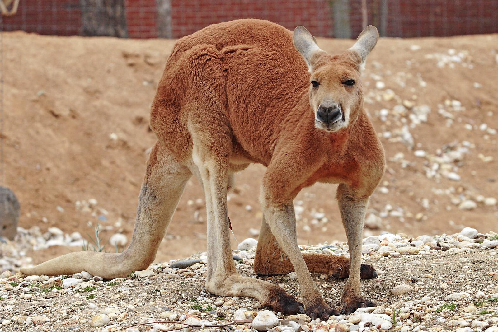 Male red kangaroo (Macropus rufus) at the Melbourne Zoo. Photo taken on November 22, 2006.