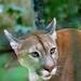 Puma by antoine_blin