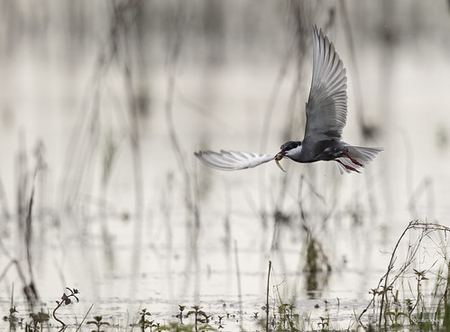 Whiskered Tern_MG_3906