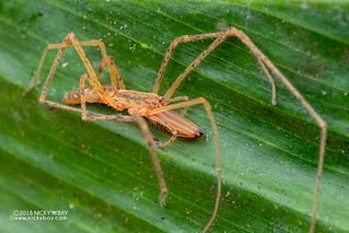 Long-jawed spider (Donuea sp.) - DSC_8618