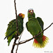 Red-lored Parrots  1077 by Bonnieg2010