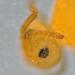 Deuterosminthurus pallipes Ocelli