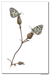 Demi-deuil - Melanargia galathea #14