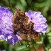Comma Butterfly on Scabious