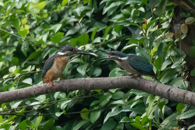 20180716-kingfisher-DSC_6844