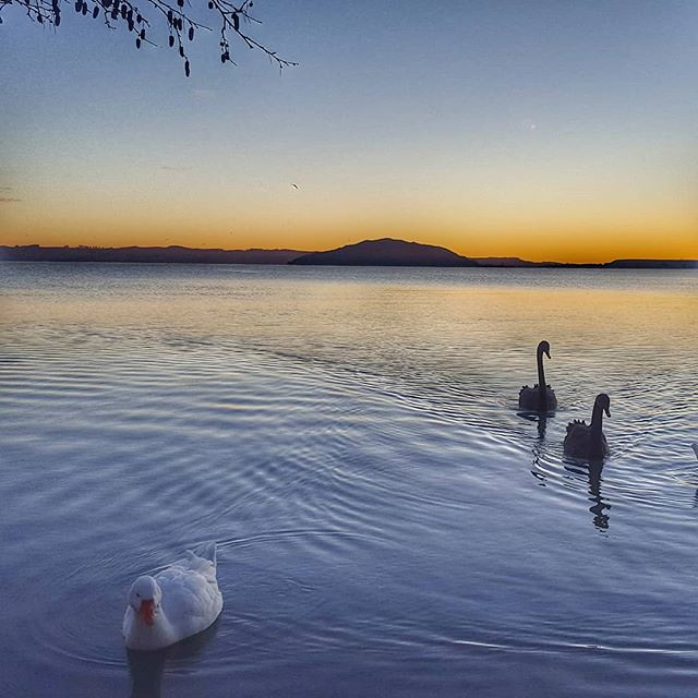 two swans and a duck swimming into shore with the sun rising over the horizon