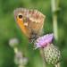 P7140013 Gatekeeper butterfly
