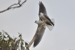 Black shouldered Kites ( go get dinner first )