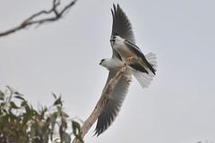 Black shouldered Kites ( go get dinner first )