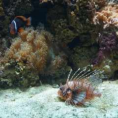 London, England, UK - The Regent's Park - London Zoo - Aquarium - Coral Reef - Lionfish and Clownfish