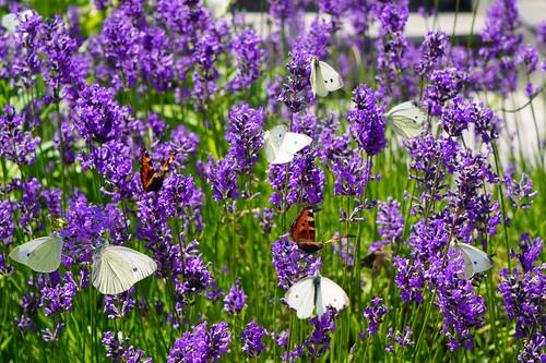 Lavendelblüten voller Leben