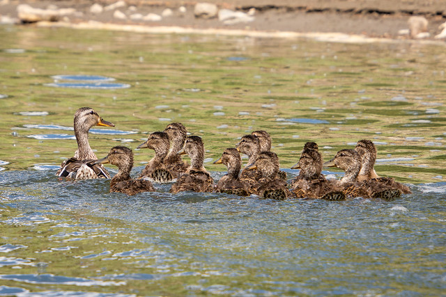 mallards and ducklings