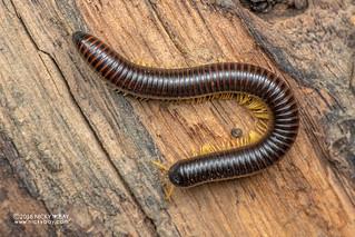 Millipede (Diplopoda) - DSC_6054