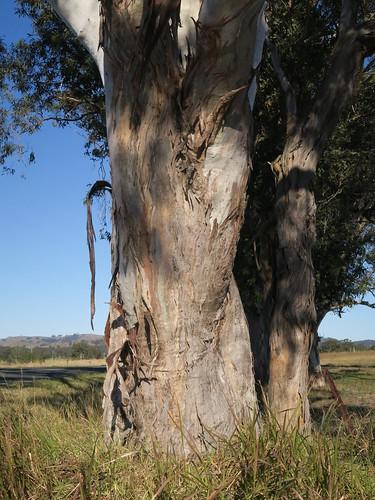 Eucalyptus glaucina trunk NC7