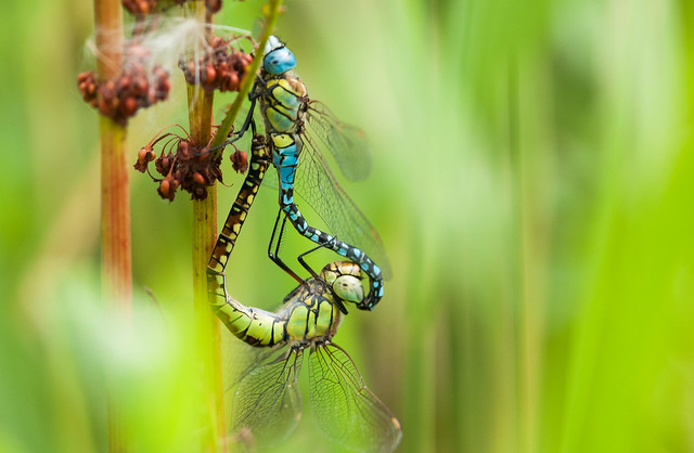 Southern Migrant Hawkers in, Nikon D300S, AF-S Nikkor 300mm f/4D IF-ED