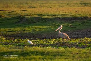 Pink-backed pelican (Pelecanus rufescens) - DSC_6612