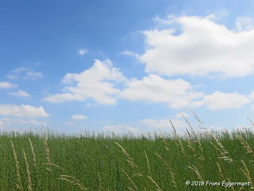 IMG_2170 - Vlasveld vóór zijn bloei - Flax Field before Blooming
