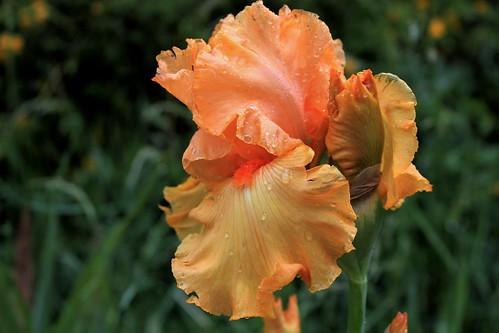 Iris 'Good Show' - Ben Hager 1987 42097539575_a7e2889d5f