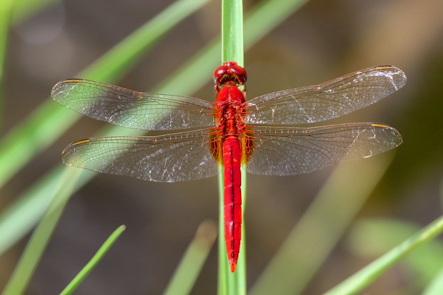 Scarlet Skimmer - Crocothemis, Canon EOS 7D MARK II, Canon EF 100-400mm f/4.5-5.6L IS USM