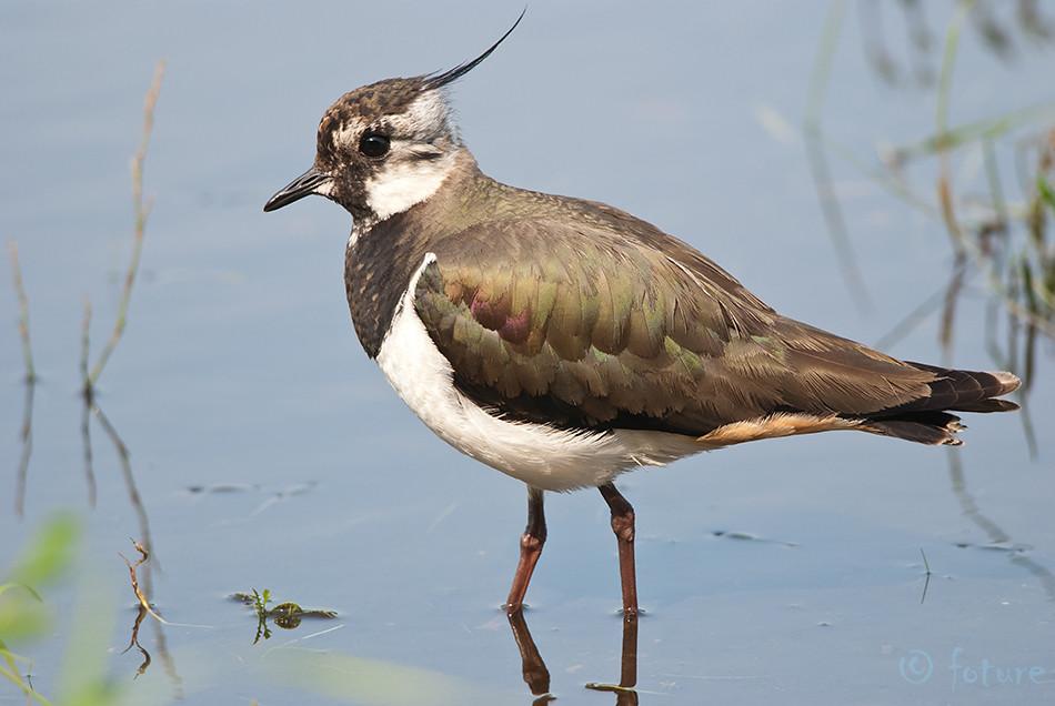 Kiivitaja, Vanellus, Northern, Lapwing, Peewit, Eurasian, Green, Plover, Estonia, Kaido Rummel