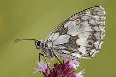 HolderMarbled White Butterfly