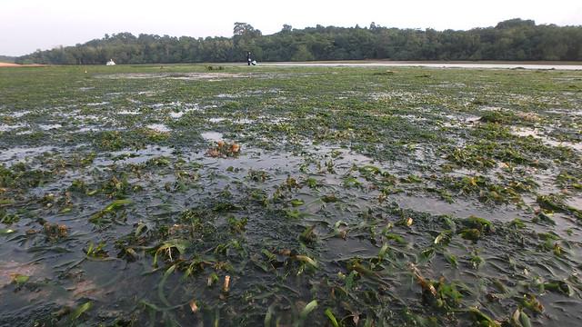 Serrated ribbon seagrass (Cymodocea serrulata)