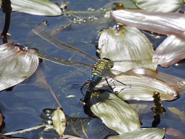 Emporer dragonfly egg laying