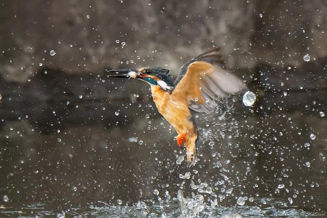 20180629-kingfisher-DSC_5291