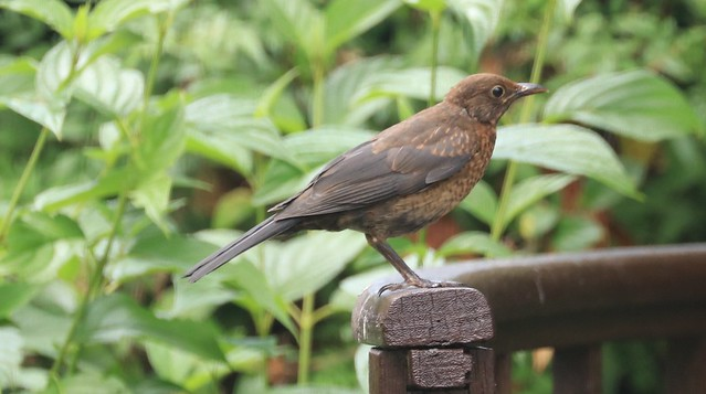 Young blackbird (I think)