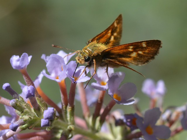 Umber Skipper (Poanes melane) butterfly on non-native Butterfly Bush