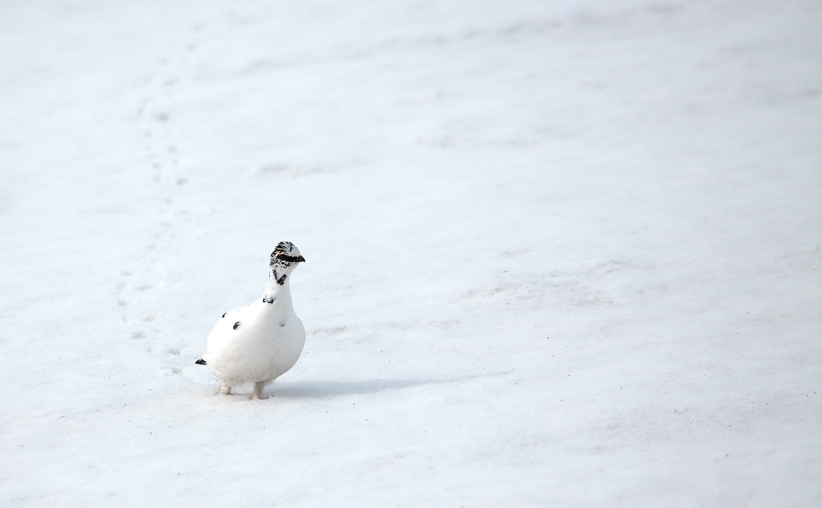 Ptarmigan - footsteps