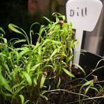 dill planting in indoor plants by shiny