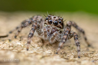 Jumping spider (Salticidae) - DSC_4274