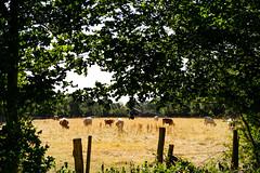 2018-07-07 Kühe bei Hitze - DSC04874.jpg
