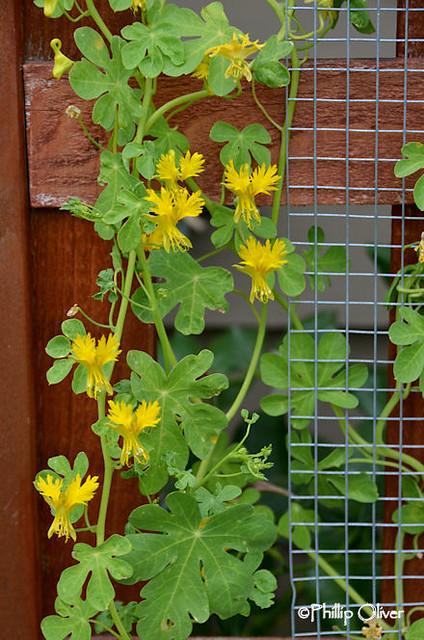 tropaeolum-peregrinum-canary-creeper