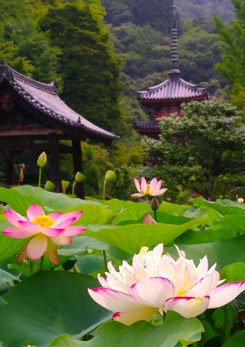Flowers And Garden Ideas : Lotus flowers in Kyoto, Japan