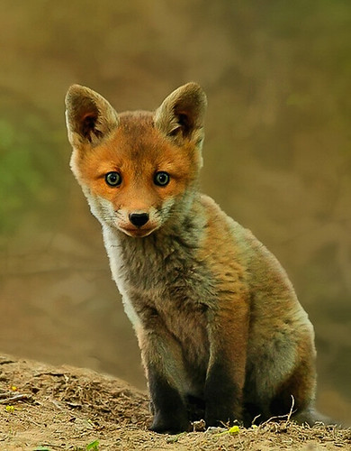 Vos - Red fox - Vulpus vulpus