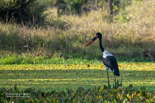 Saddle-billed stork (Ephippiorhynchus senegalensis) - DSC_5439