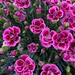 Pinks in full bloom