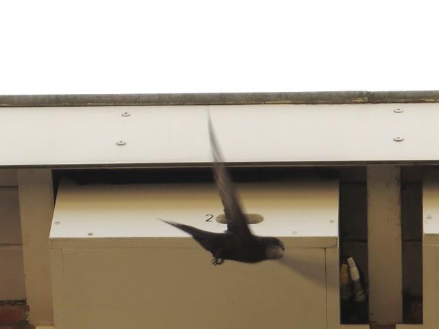 Gierzwaluw nestkast 2