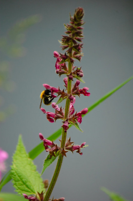 Betony flower with visiting bee, canalside
