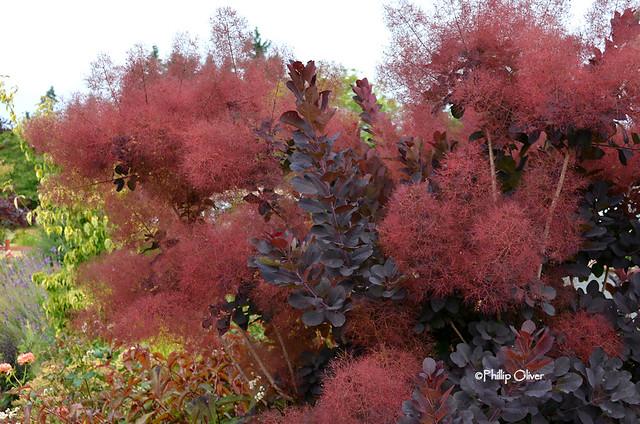 cotinus-smoke-tree-royal-purple