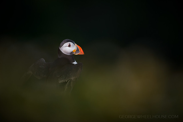 Low Key Puffin