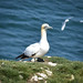 Gannet, at Bempton Cliffs